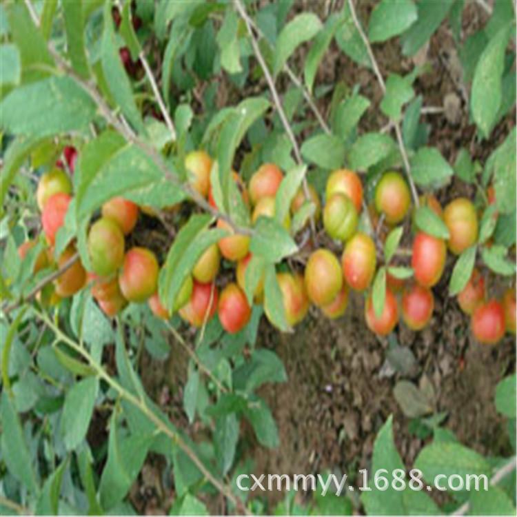 钙果苗培育基地 1年生钙果苗价格 2年生钙果苗 丛生钙果 当年结果