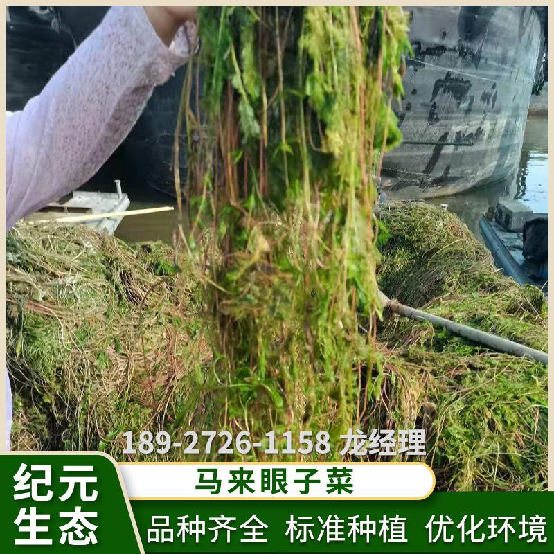 马来眼子菜 水生植物 生态环境和养殖的水草 量大从优厂家供应