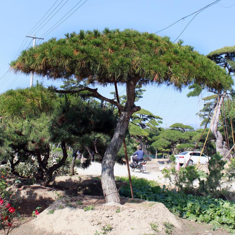 景松树现挖现卖基地批发地栽景松树可南北方种植耐寒耐旱景观树