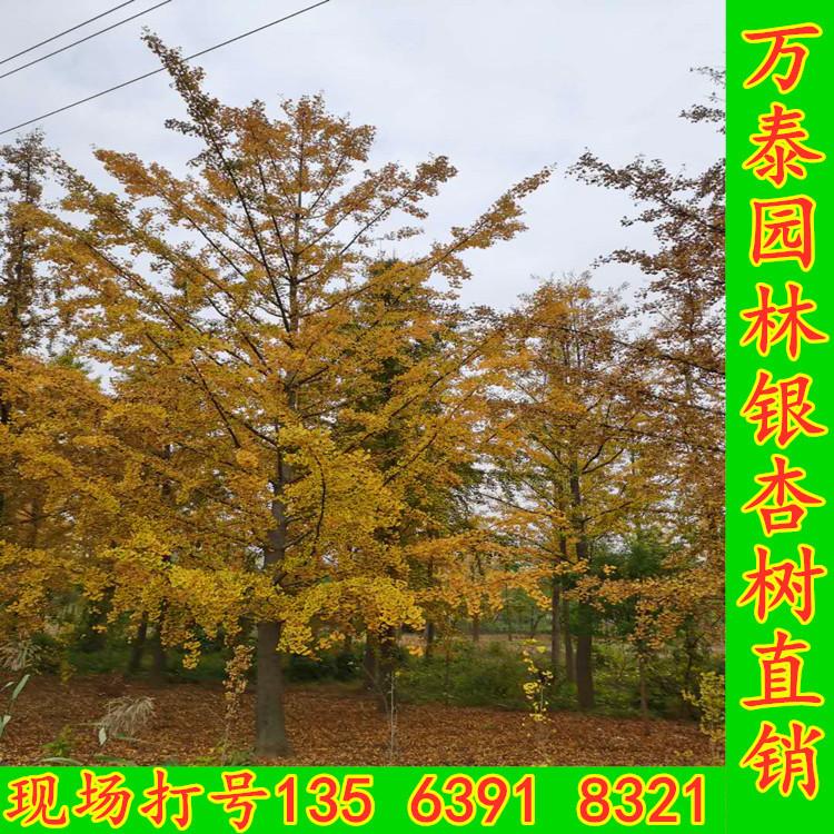 银杏树秋季银杏金黄25公分树形银杏价格30公分银杏绿化效果