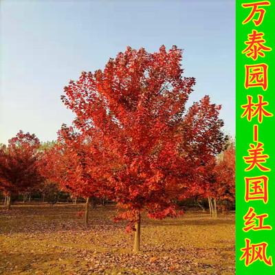红冠红枫美国红枫系列 8公分红枫苗木红枫基地 景观绿化公园点缀
