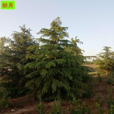 北京雪松批发 带土球易成活 大冠幅工程树 4米5米优美雪松