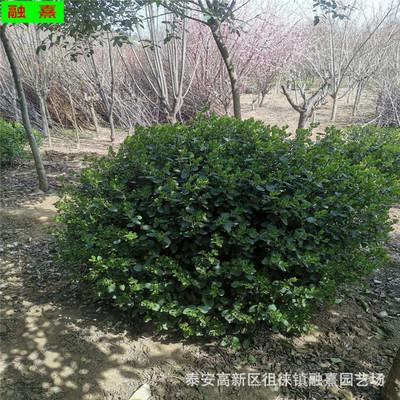 出售冬青球 冠幅1米1.2米冬青球 常绿灌木园林绿化大叶黄杨冬青球
