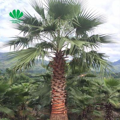 非洲茉莉 非洲茉莉花苗 绿植花卉盆栽植物四季常青净化空气吸甲醛