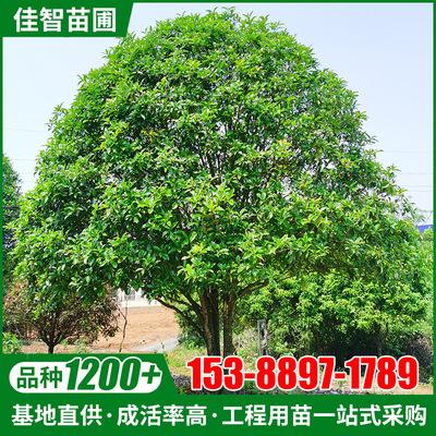 桂花树乔木批发丹桂八月桂四季常青园林庭院风景绿化树造型桂花树