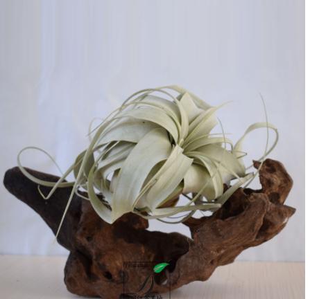 厂家直销 空气凤梨 无土植物 卷叶霸王 10-15cm