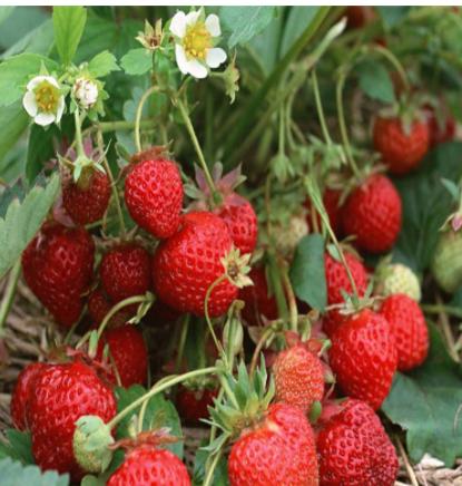批发丰香草莓苗 脱毒草莓 甜查理基地培育红颜丰产无病害草莓苗