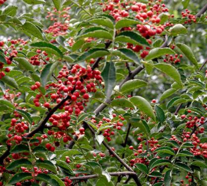 基地大量供应花椒苗 丰产大红袍花椒苗 规格多保湿邮寄