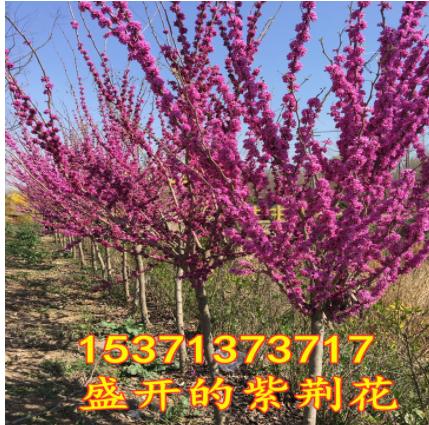 批发工程绿化树苗 紫荆树苗 满条红苗庭院观赏花卉 规格齐全