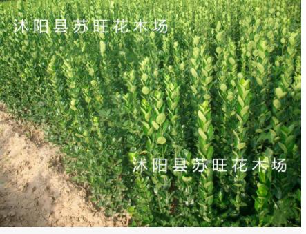 批发常绿灌木北海道黄杨大苗20cm-3m 北海道黄杨小苗 规格齐全
