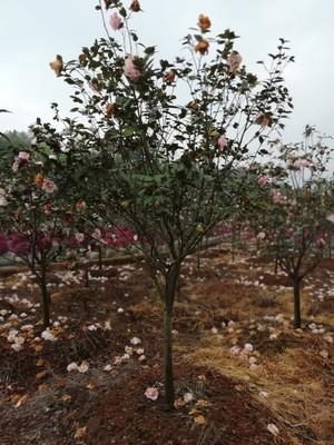 苗圃基地园林绿化工程乔木多花香水茶梅庭院景观茶梅树新品种茶梅