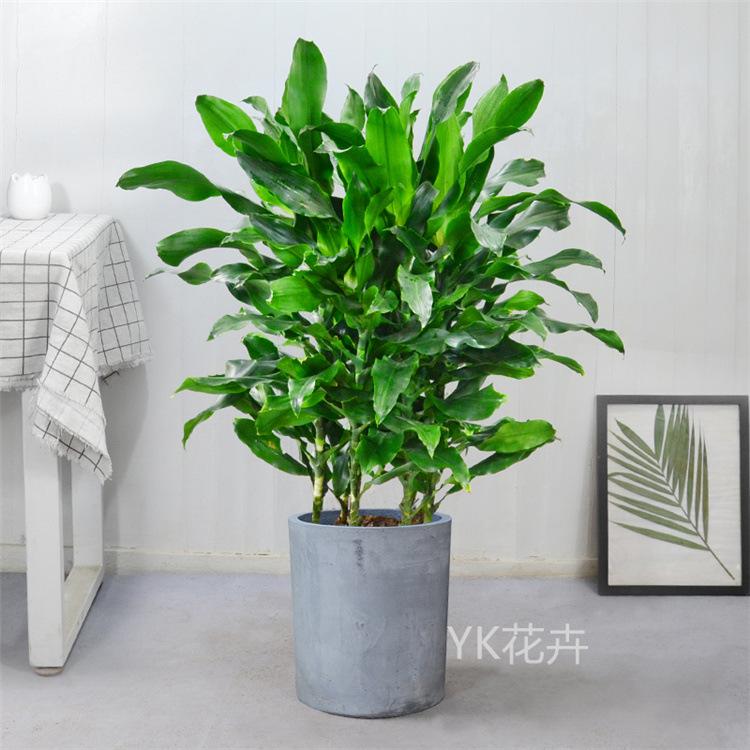螺纹铁盆栽客厅办公室巴西铁螺旋铁绿植花卉 观叶植物净化空气