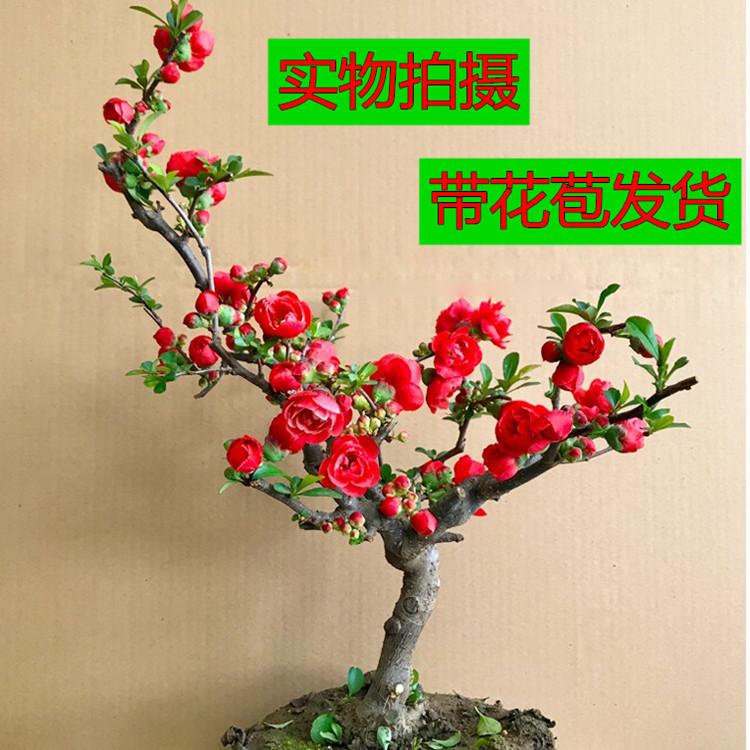 长寿冠海棠花带花苞 一物一拍 盆栽室内盆景四季花苗当年开花