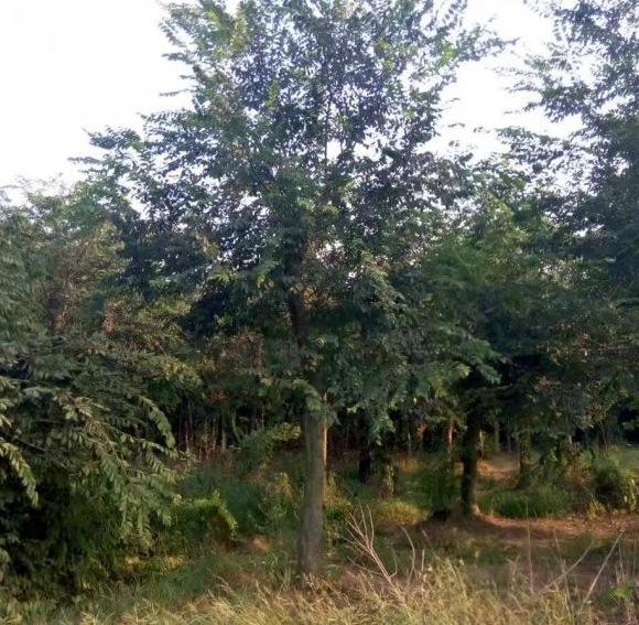 基地批发优质朴树苗 朴树小苗 工程绿化苗 规格齐全 量大优惠