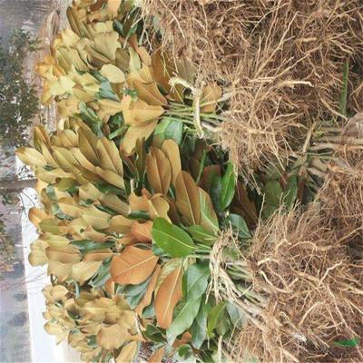 四季常青庭院植物广玉兰树苗 行道类工程绿化苗 白玉兰树苗沙玉