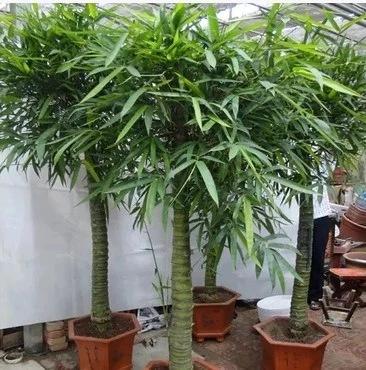 大型盆栽室内植物罗汉竹佛肚竹盆景 佛肚竹大苗佛肚竹盆栽植物