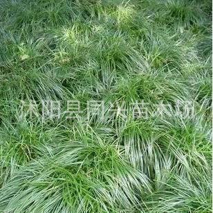 绿化苗木麦冬草中叶细叶麦冬草苗