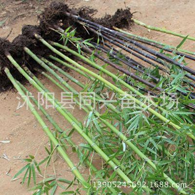早园竹 紫竹 青竹 金镶玉竹 庭院阳台围墙竹子绿化树