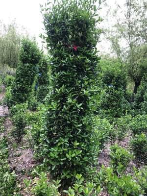 基地直销大叶黄杨柱子绿篱法国冬青篱笆柱子自家基地种植长年供应