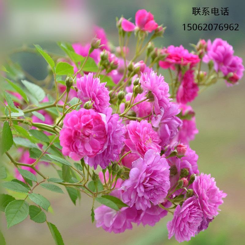 庭院盆栽甜蜜马车阳台微月爆香紫丰花多头微型月季型四季开花批发