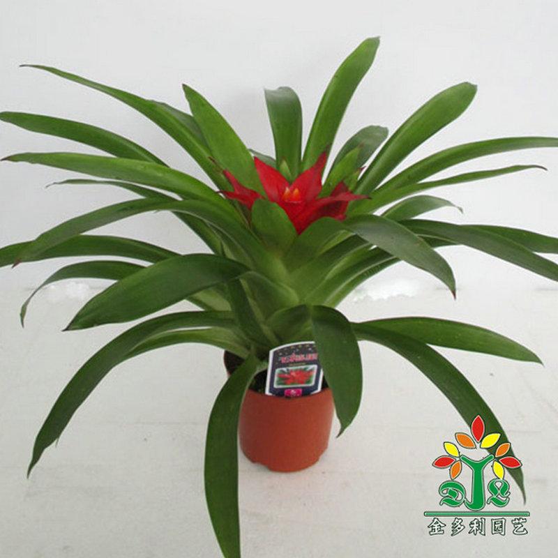 鸿运当头花卉盆栽批发小红星凤梨花卉桌面盆栽花卉植物水培土培