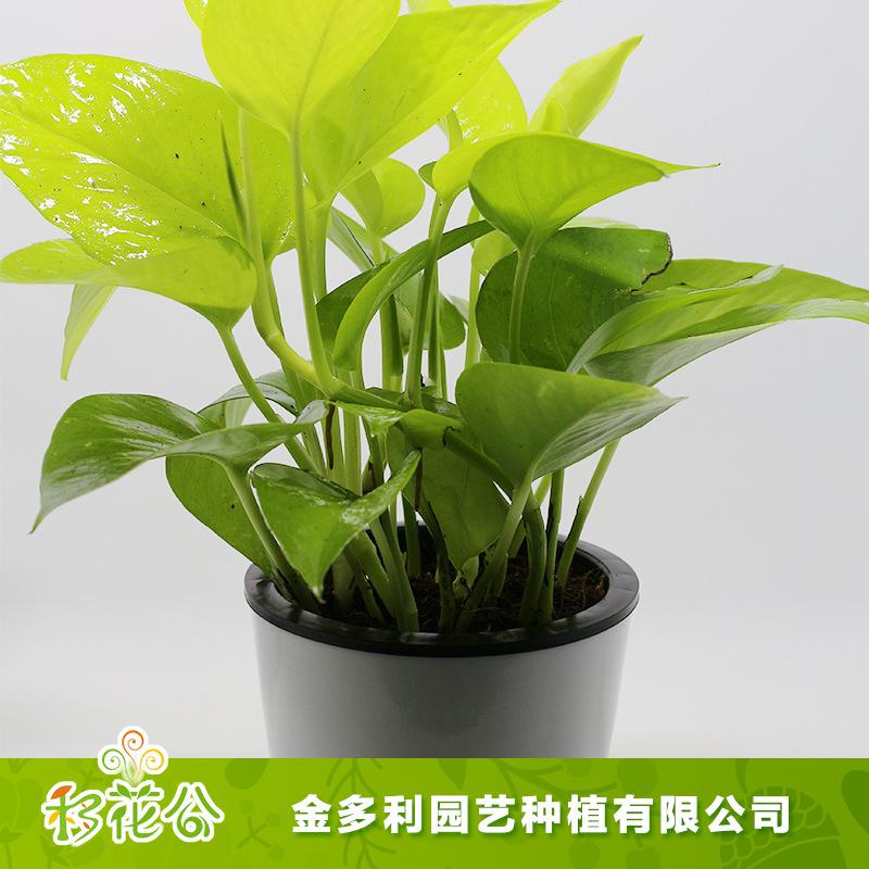 青叶绿萝 金叶绿萝 绿色小盆栽 净化空气绿植 基地热销供应