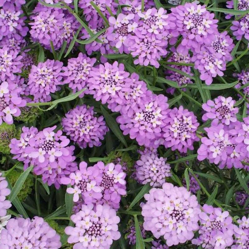 蜂室花种子 屈曲花种子 多年生 景观花海造景 花卉种子 易种植