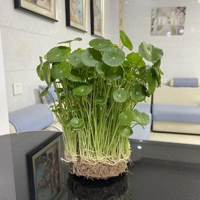 铜钱草水培植物办公室桌面盆栽金钱草花卉绿植