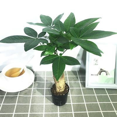 发财树盆栽植物陶瓷盆栽室内花卉土养盆景客厅绿植发财树花
