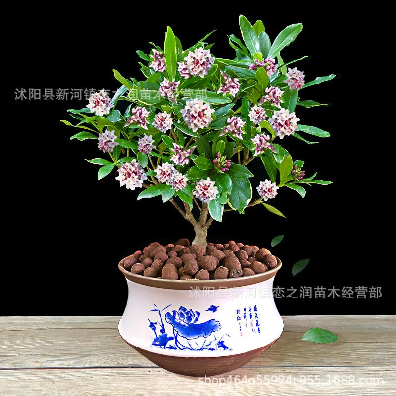 金边瑞香盆栽浓香型耐寒花卉观花植物室内外四季开花老桩阳台庭院