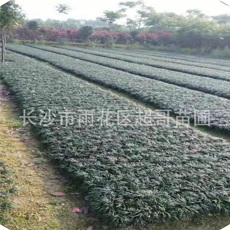 湖南批发玉龙草 日本矮麦冬四季常青 耐寒常绿优质庭院地被植物