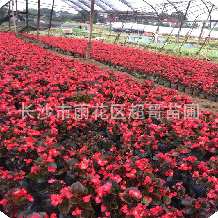 苗圃批发时令花卉四季海棠花苗园林工程绿化观赏植物