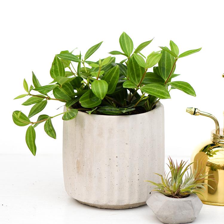 钻石翡翠白脉椒草盆栽 轮叶豆瓣绿 绿植盆栽 吊兰办公室观叶植物