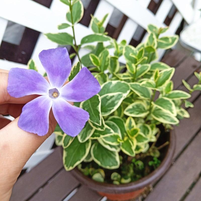 花叶蔓常春藤垂吊盆栽四季常绿花园庭院彩色观叶开花吊兰