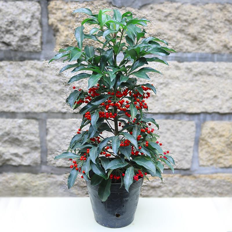 喜阴植物富贵籽红凉伞室内外盆栽绿植富贵子耐寒花卉盆景